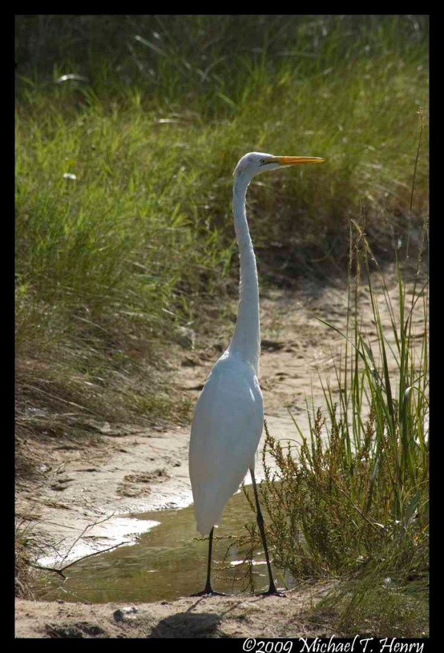 Great Egret At Assateague Island