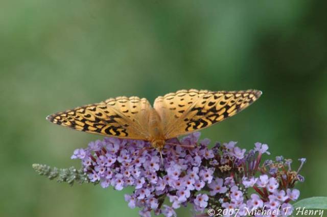 A butterfly in our backyard